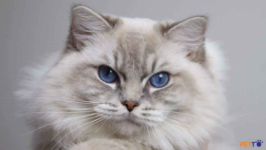 Sự kết hợp hoàn hảo giữa vẻ quý phái của mèo Ba Tư và sự thân thiện của mèo Anh lông ngắn.
