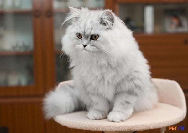 Mèo ba tư lông dài với vè bề ngoài dễ thương