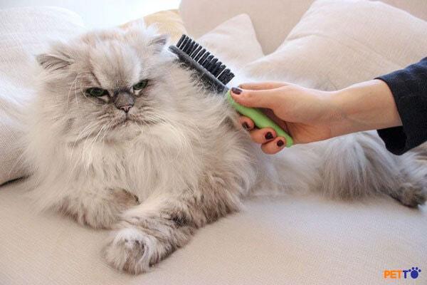 mèo Ba Tư còn là một trong những thú cưng yêu thích nhất của nữ hoàng Anh.