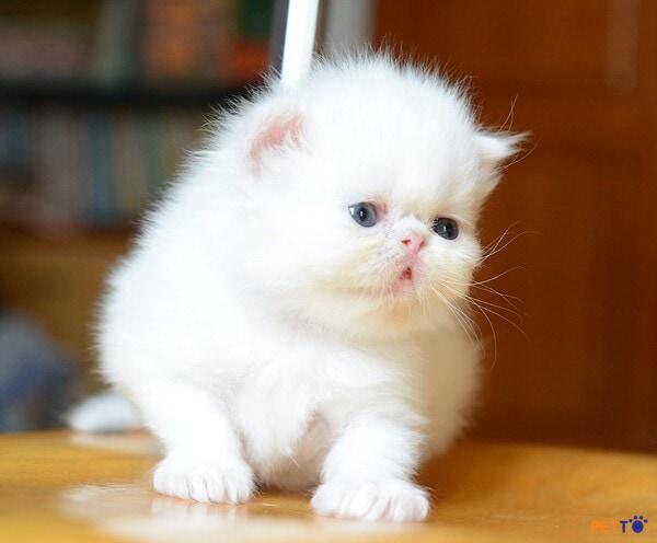 Mèo Ba Tư lông trắng luôn là những chú mèo được săn đón và tìm mua nhiều nhất hiện nay.