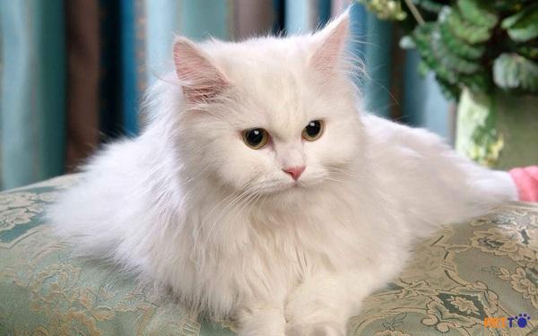 một chú mèo Ba Tư nặng khoảng từ 3 đến 5kg với chiều cao từ 25 đến 38cm
