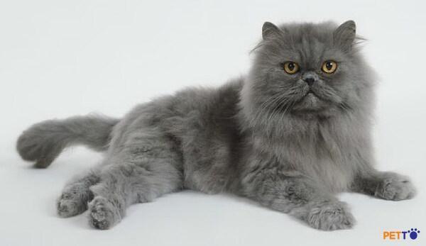 mèo Ba Tư xám được ưa chuộng và nuôi nhiều nhất ở giai đoạn cuối thế kỷ 19