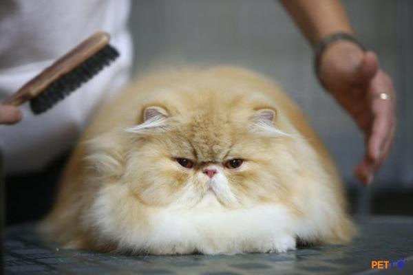 trên thế giới đang có 4 dòng mèo Ba Tư thuần chủng chính