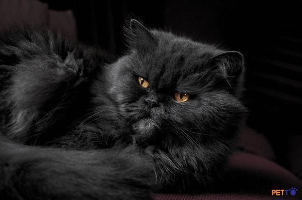 Những chú mèo Ba Tư đen cũng được khá nhiều người yêu thích