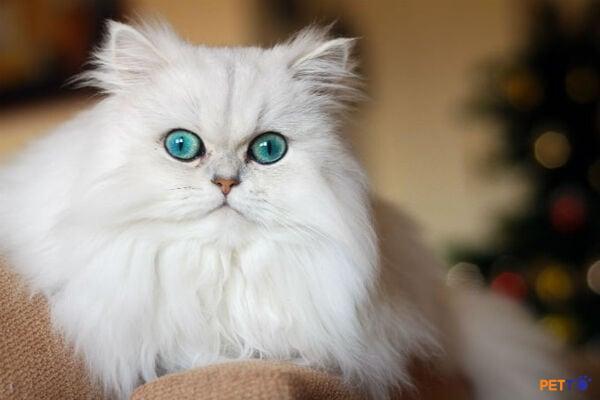 Mèo Ba Tư nổi tiếng là giống mèo thân thiện, hiền lành, thông minh