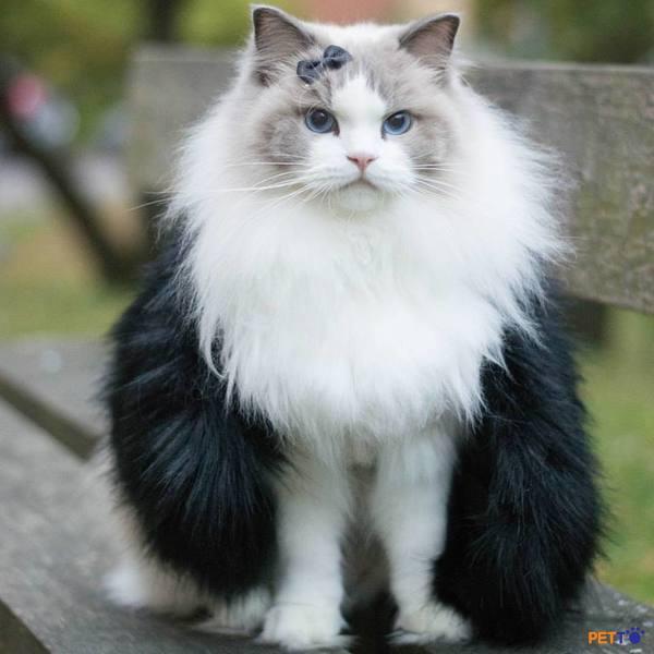 Một chú mèo Ragdoll đực khi lớn lên có thể nặng từ 5.5 – 9kg