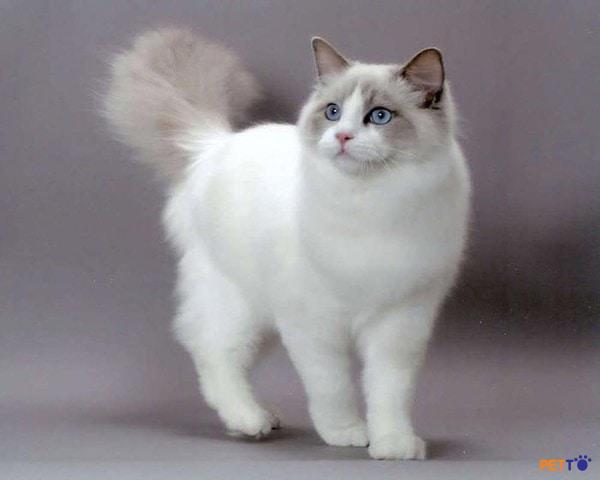 Mèo Ragdoll có bộ lông dài và dày
