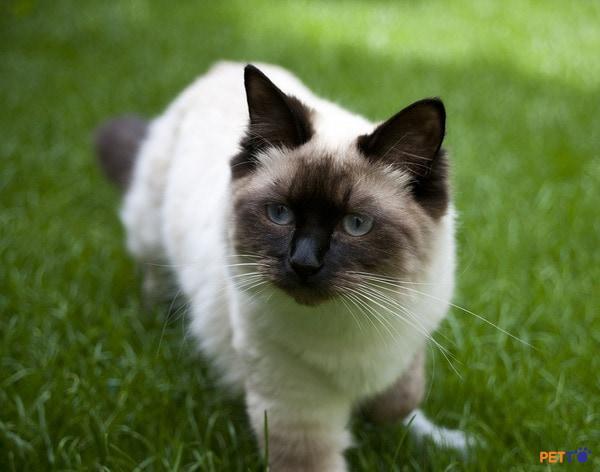 Ragdoll sinh ra đã là những chú mèo hiền lành, ngoan ngoãn và biết vâng lời.