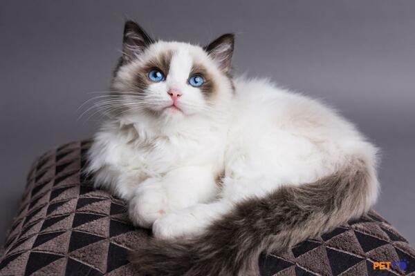 Tuổi thọ của mèo Ragdoll là từ 12 – 17 năm