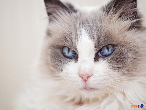 Hình ảnh về giống mèo tuyệt đẹp mang tên Ragdoll