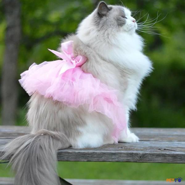 mèo Ragdoll cũng không thể tránh khỏi các bệnh liên quan đến hô hấp, tim mạch, các bệnh truyền nhiễm.