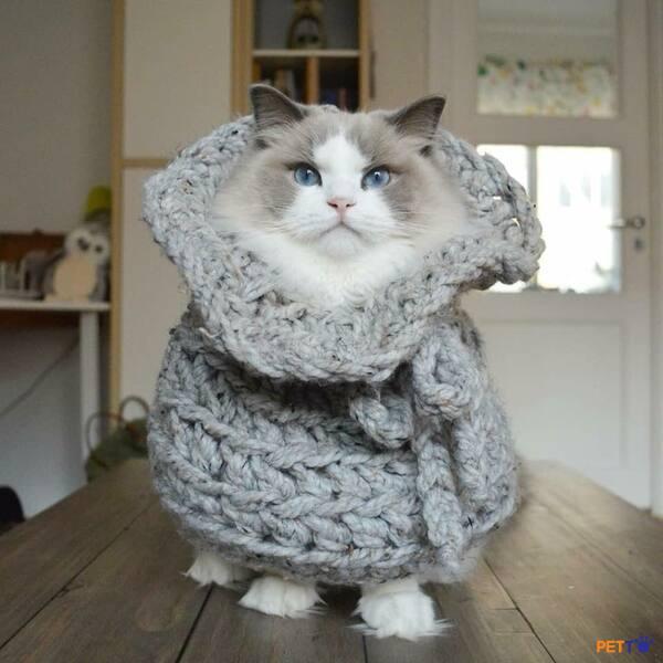 Giá thành của mèo Ragdoll cũng không hề rẻ