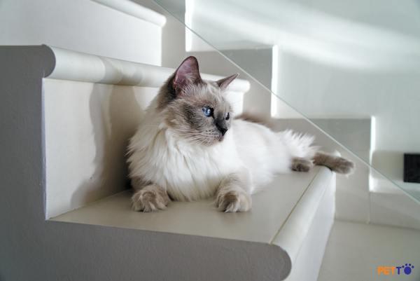 Mèo Ragdoll ngoại nhập có giá khá cao