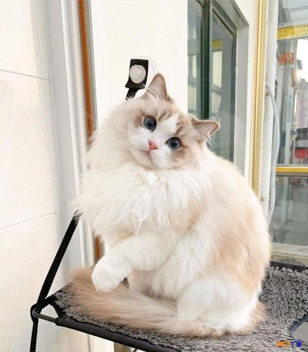 Mèo ragdoll với đôi mắt xinh đẹp