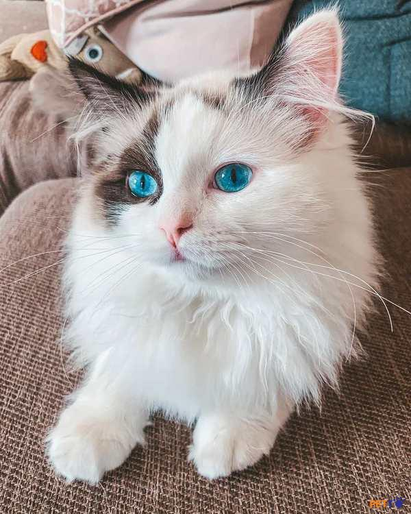 Bộ lông của mèo Ragdoll cũng rất đa dạng màu sắc: xanh xám, trắng, kem, socola.