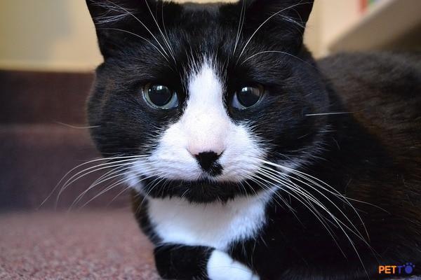 lông mèo Tuxedo chỉ có hai màu đó là đen và trắng.