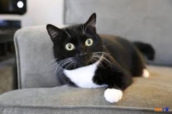 Hình ảnh về giống mèo Tuxedo
