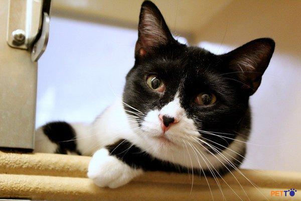 Giá mèo Tuxedo lai giống mèo thuần chủng ngoại quốc sẽ đắt hơn so với lai mèo ta