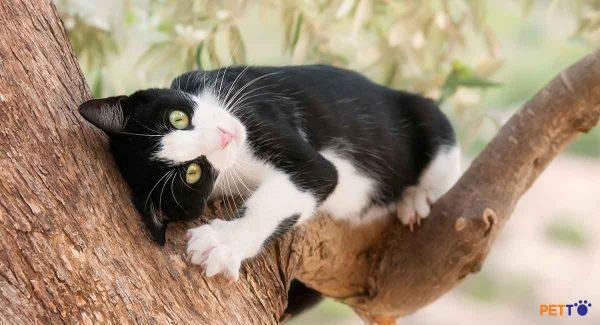 Hình ảnh Mèo Tuxedo lông ngắn