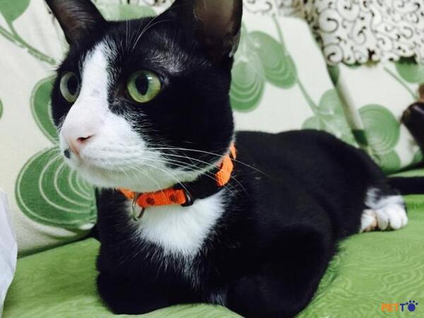 mèo Tuxedo có hai kiểu lông dài và ngắn nên cách chăm sóc cũng sẽ khác nhau.