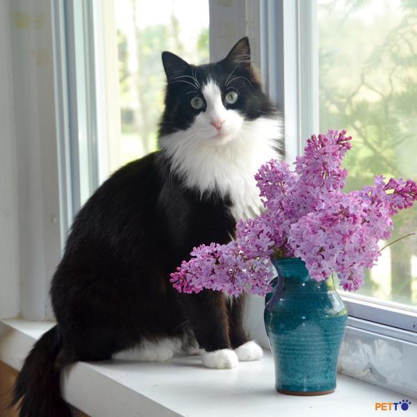 Mèo Tuxedo ăn đơn giản như những giống mèo khác