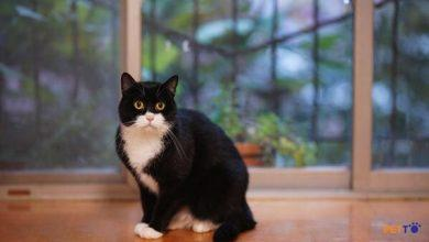 Đặc điểm nhận biết mèo Tuxedo