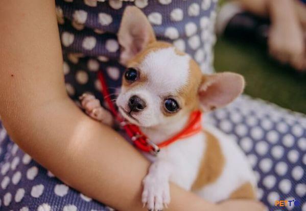 Chihuahua là giống chó rất thích hợp để bầu bạn.