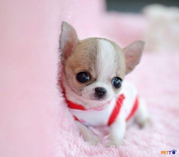 Thức ăn cho chó Chihuahua cần giàu protein