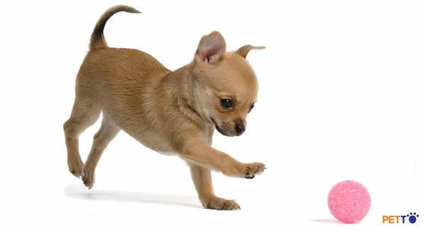 Giá chó Chihuahua  phụ thuộc vào nhiều yếu tố
