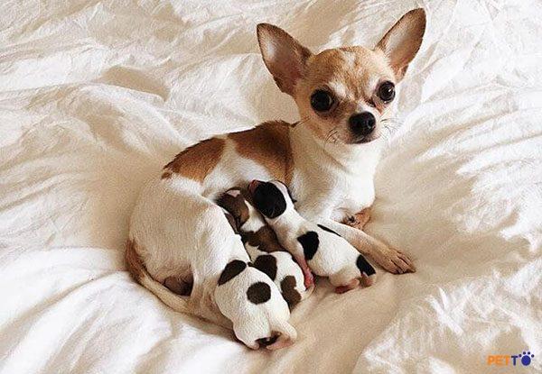 Cần tìm hiểu kỹ người bán để đưa ra quyết định mua cho Chihuahua