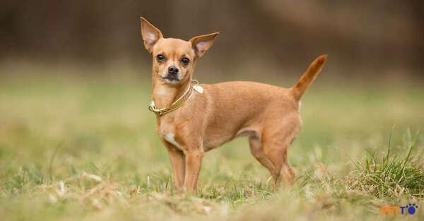Chó Chihuahua được nuôi phổ biến ở Việt Nam