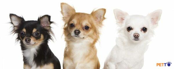 Chó Chihuahua