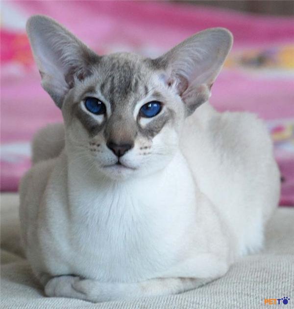 Mèo oriental  có đầu hình tam giác, thân hình mảnh dài và mảnh dẻ, lông ngắn và bóng như satin