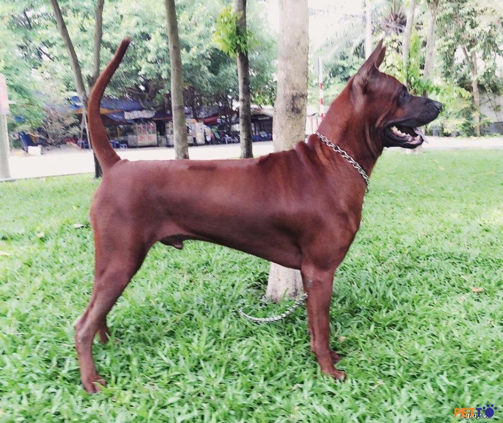Chó lông xoáy Thái Lan với vẻ ngoài mạnh mẽ, thông minh và trung thành