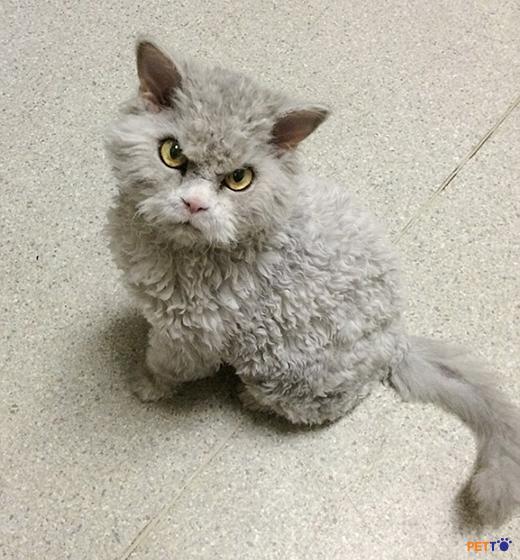 Selkirk Rex là giống mèo với cơ bắp, thân hình to và nặng ẩn sau lớp lông.