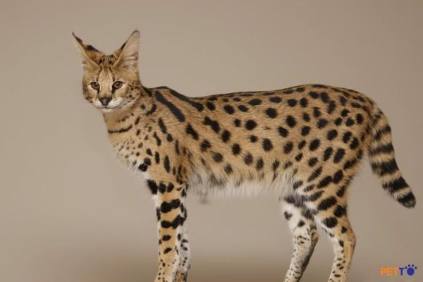 Savannah còn mang trên mình đặc điểm của sự hoang dã từ bộ lông