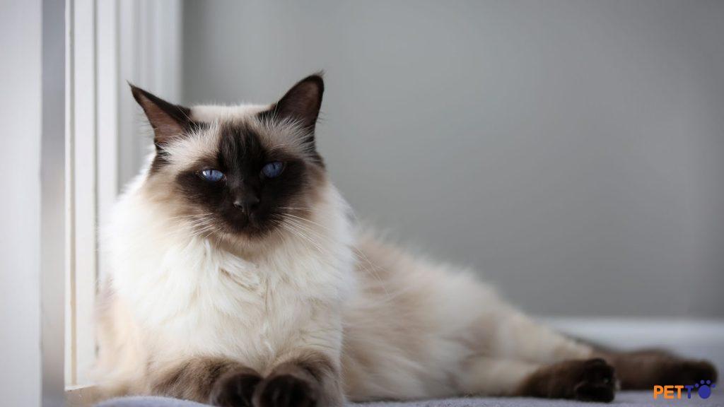 Mắt của mèo bali có hình hạnh nhân, kích thước trung bình, không lồi, không lõm.
