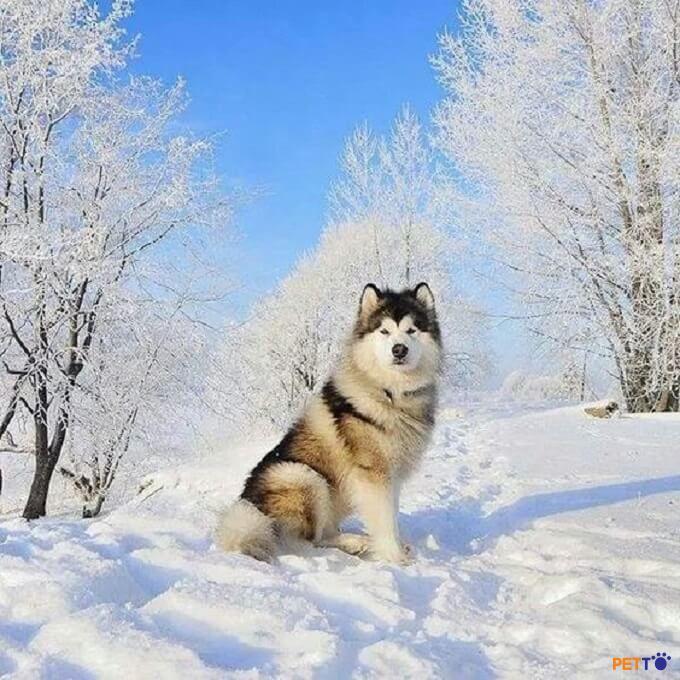 Nguồn gốc chó alaska ảnh hưởng lớn đến giá của chúng