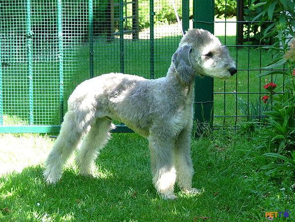 Nổi bật nhất của chó sục Bedlington chính là sự đáng yêu, vui nhộn, thân thiện và rất trung thành.