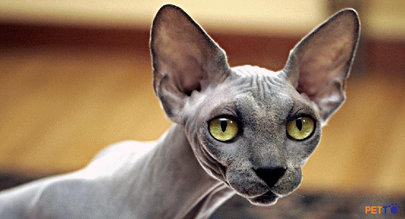 Mèo  Peterbald được phát triển từ những năm 1994 do nhà lai tạo Olga S