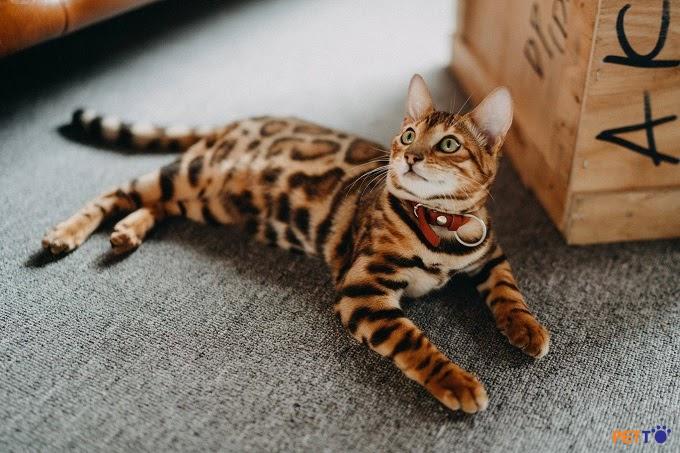 Ít có giống mèo nào có nhiều điểm tốt như mèo Toyger.