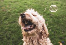 """Các nguyên nhân và triệu chứng của """"hắt hơi"""" trên chó"""