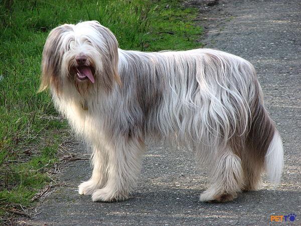 Chó chăn cừu râu dài rất hoạt bát, vui vẻ.