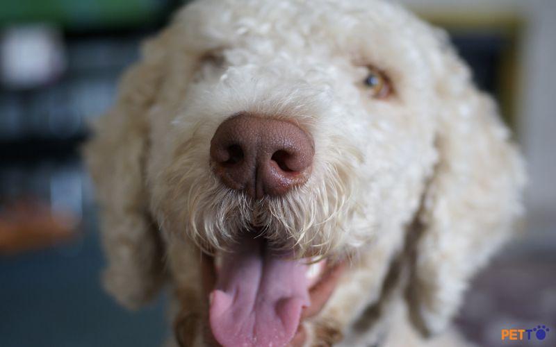 Chó Labradoodle là giống cho lai tạo từ Úc