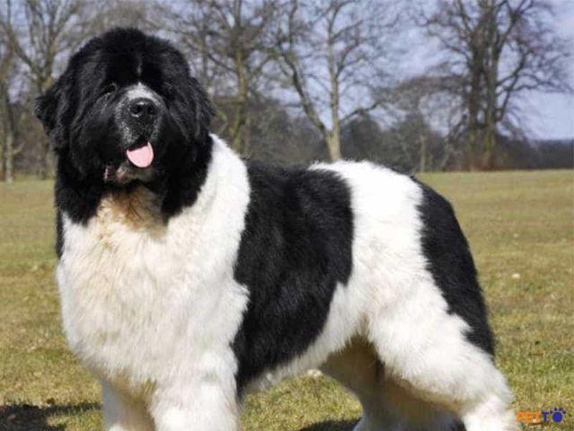 Chó Newfoundland (Newfie)là giống chó có nguồn gốc từ vùng biển