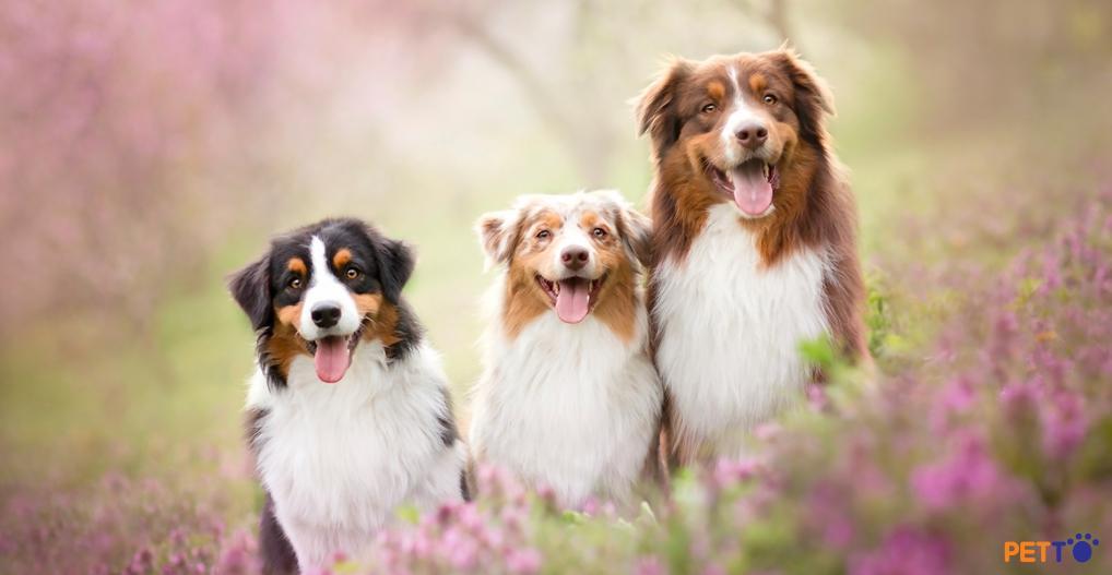Chó chăn cừu Úc (Australian Shepherd) – Thông tin giống chó