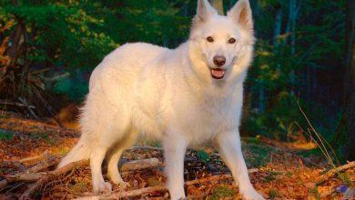 sức khỏe Chó chăn cừu trắng Thụy Sĩ