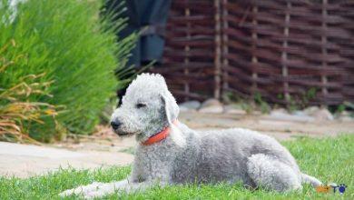 cách nuôi và chăm sóc Chó sục Bedlington