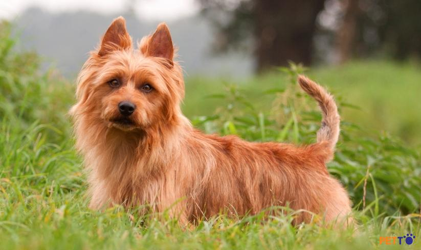 Chó sục Úcvới bộ lông hơi thô cứng, ít rụng nên không cần tắm nhiều