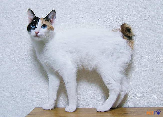 Mèo đuôi cộc Nhật Bản thực sự là giống mèo tình cảm